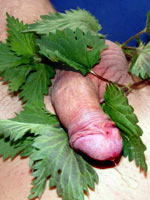 Nettle play for my cock