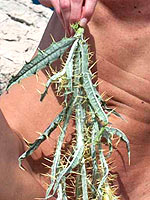 Cactus together with pussy
